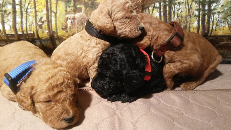 AKC Standard Poodle and Goldendodle Puppies by Virginia Coast