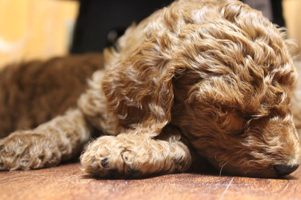 AKC Standard Poodle and Goldendodle Puppies by Virginia